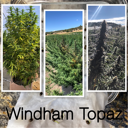 Windham Topaz Seed Packs (Otto II x The Wife)