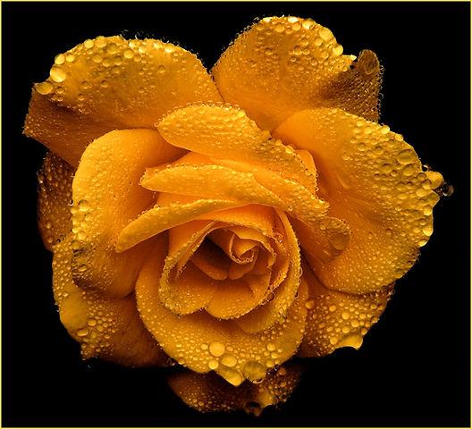 rose-roses-blossom-bloom-54620.jpg