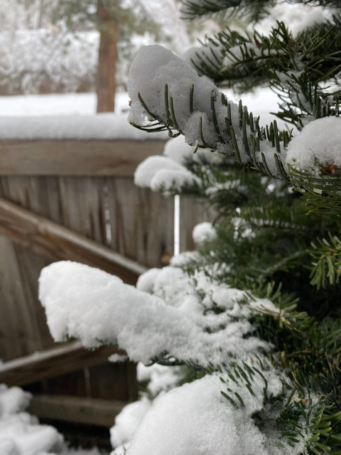 Evergreen, Christmas tree with a beautiful, light dusting of snow on the branches. Detail shot.