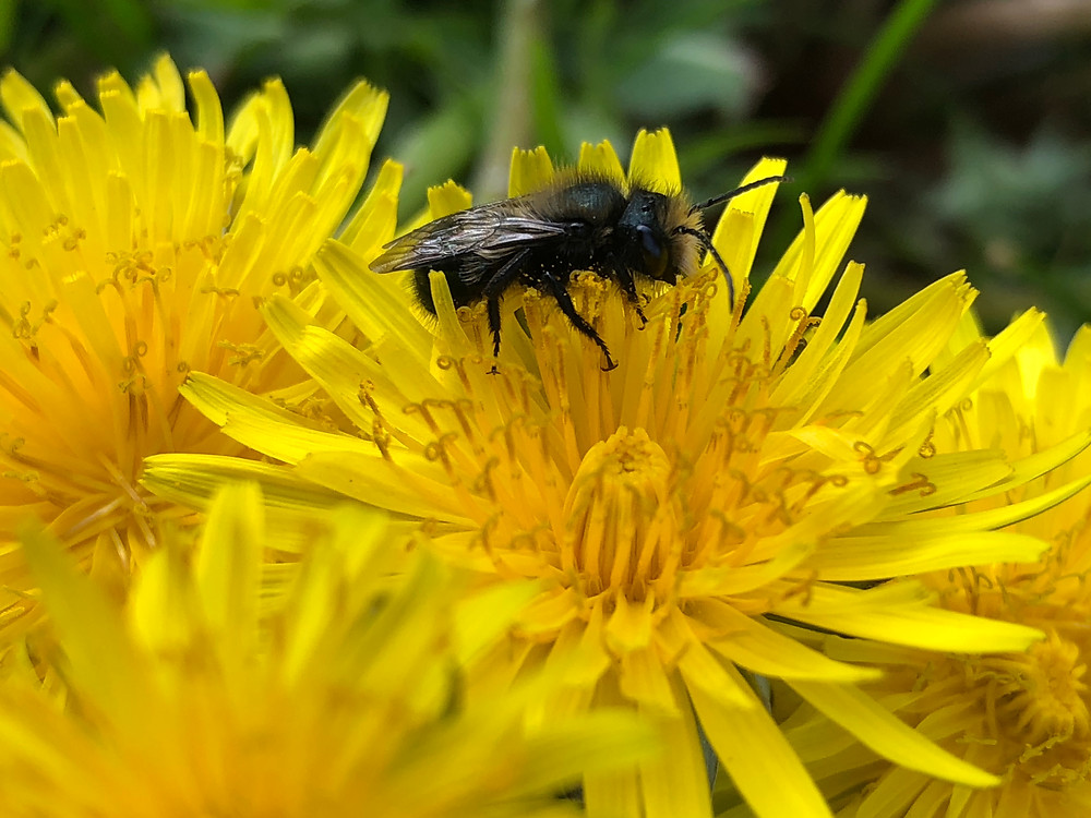 A mason bee is collecting pollen nectar from a dandelion in the Spring. Bright yellow flower and pollen.