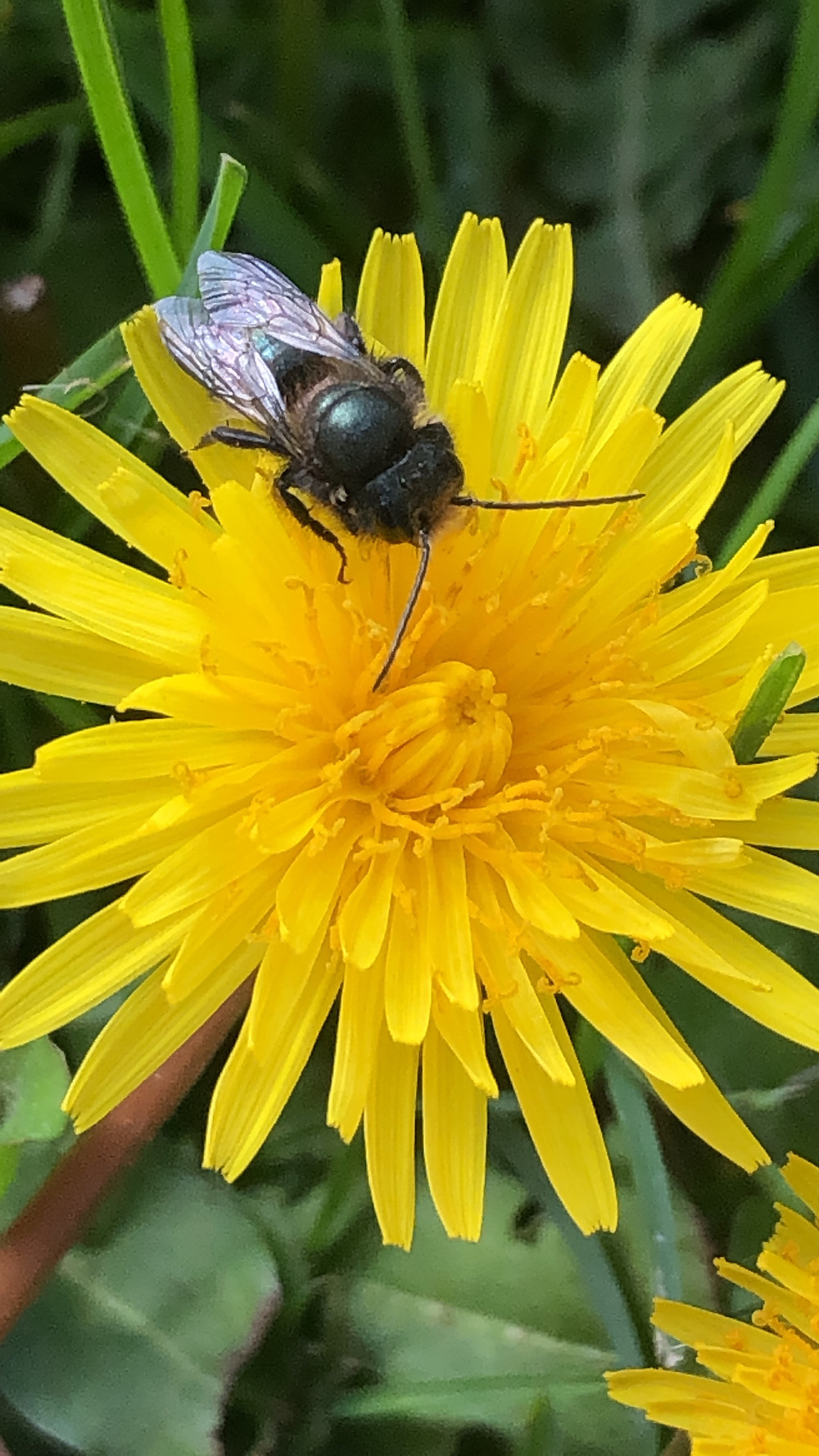 Mason bee early in spring on a dandelion. Close up detail of bee and flower.