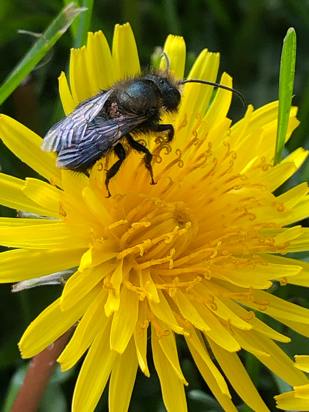 Mason bee harvesting pollen from a dandelion. Detail of wings and structure of bee and plant. Heavy with pollen nectar for bees.
