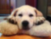 Yellow Labrador Retriever Puppies NY
