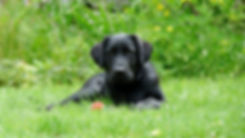 Labrador Retrievers for sale in New York