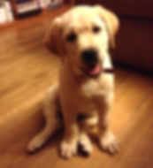 Labrador Retriever puppies for sale NY