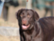 Labrador Retriever Breeder NY