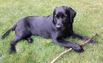 Labrador Retriever puppies for sale NY