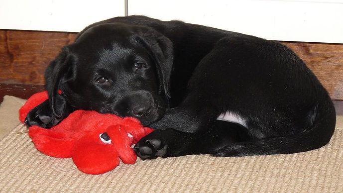 Black Labrador Retriever Puppies NY