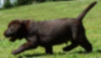 Chocolate Labrador Retriever Puppies NY