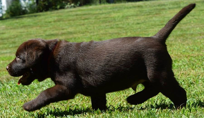 Chocolate Labrador Retriever Puppies NY