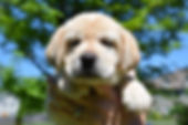 Yellow Labrador Retriever Puppies NY