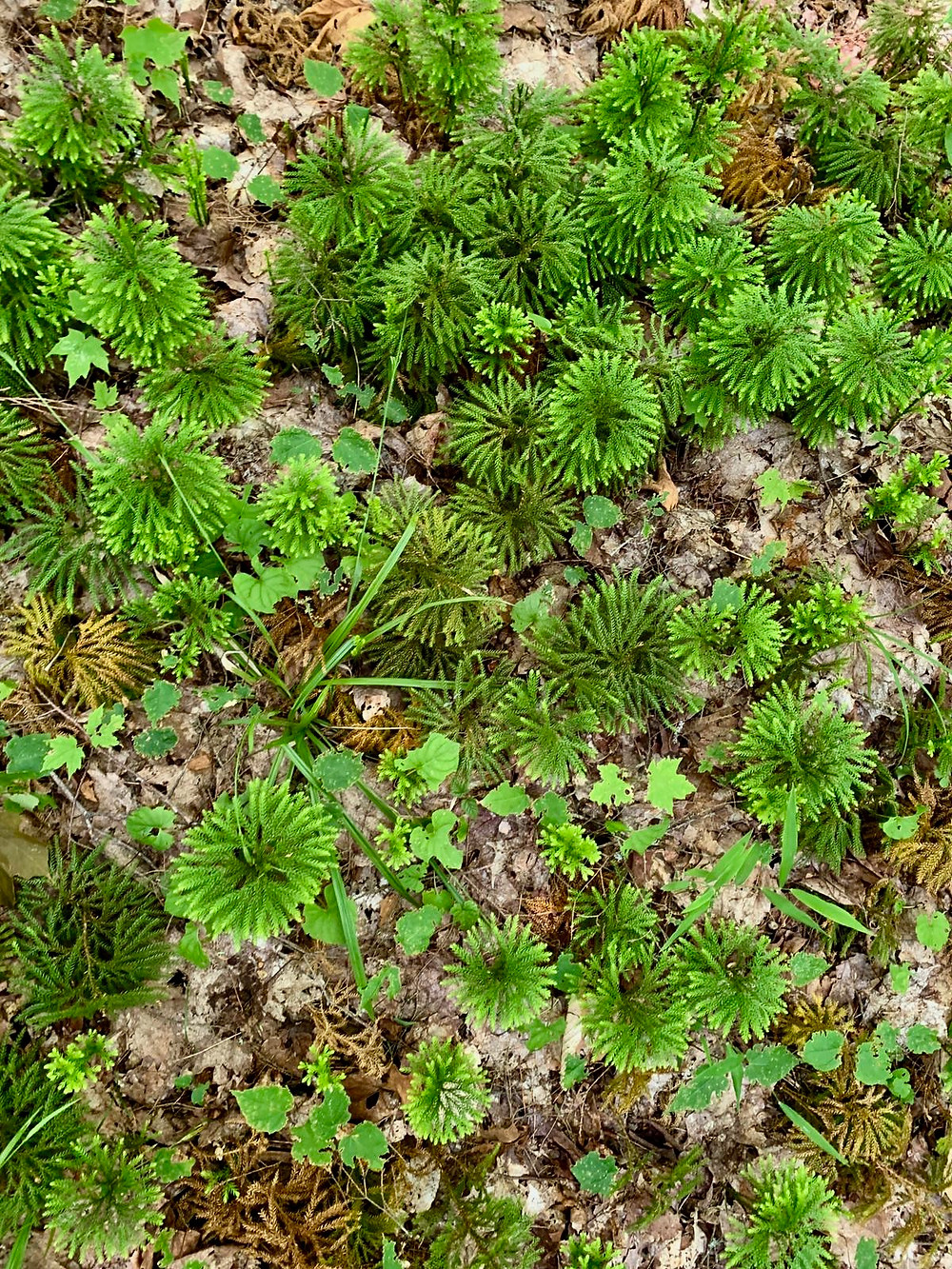 Small coniferous trees on the ground