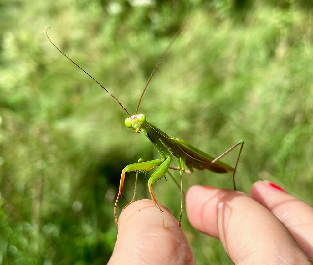 Closeup picture of a green praying mantis
