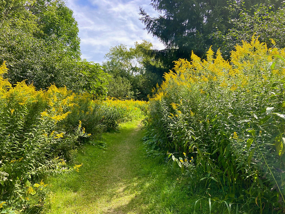 Photography of a forest trail boarded by tall yellow wildflowers