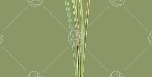 Lily Grass Tip x5