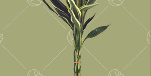 Lucky Bamboo Tip