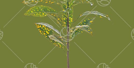 Croton Yellow Green