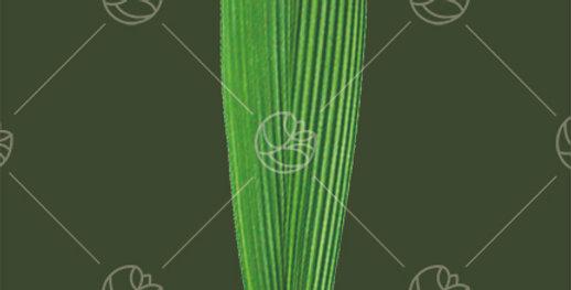 Accordion Palm