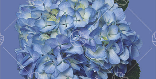 Hydrangea Vibrant Blue