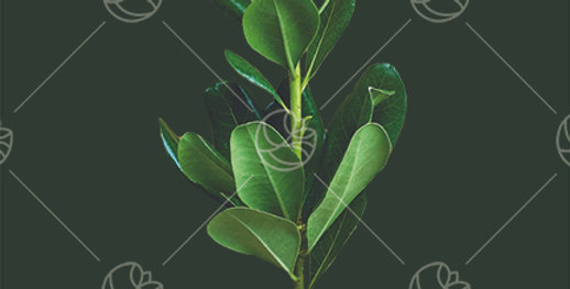 Pittosporum Green