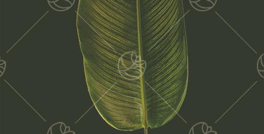 Calathea White