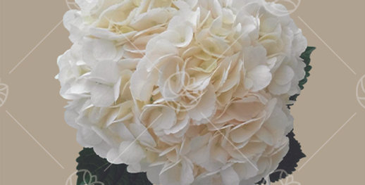 Hydrangea White Cream