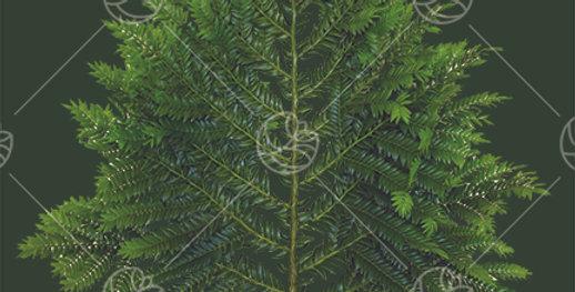 Romeron Podocarpus