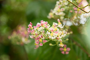 Close up of Banisteriopsis Caapi flowers