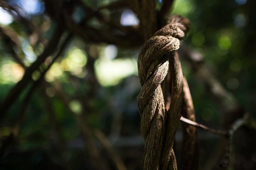 Liana ayahuasca growing in the jungle, c