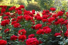 #Rose #Gardening
