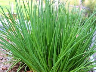 #Chives (Allium schoenoprasum)