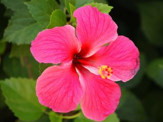 Hibiscus as Garden Plants               #hibiscus #garden #plants
