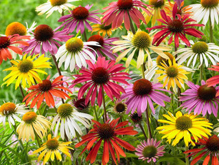 Coneflower or Echinacea - the best thing for your bed