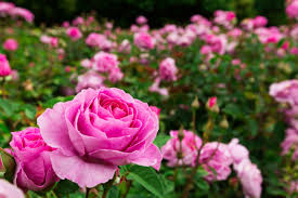 5 Tips For #Planting #Roses