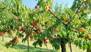 History Of #Peach #Trees, Prunus Persica