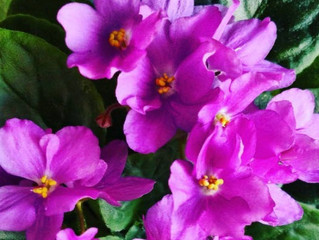How To Grow African Violets              #AfricanViolets  #growAfricanVioletsBloom #AfricanVioletFer