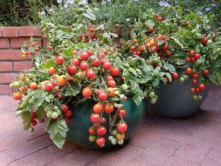 Secrets to Growing Tomatoes in Containers                                          #garden, #homeGar