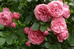 The Most Popular #Roses