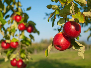 History Of #Apple #Trees