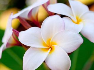 Hawaiian Flowers Amazingly Beautiful and Super Long Lasting                           #HawaiianFlowe