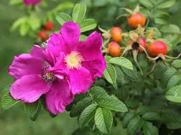Caring For Wild Roses