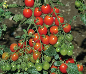 Garden Tips for Planting Super-Sweet Grape Tomatoes                                  #GardenTips #co