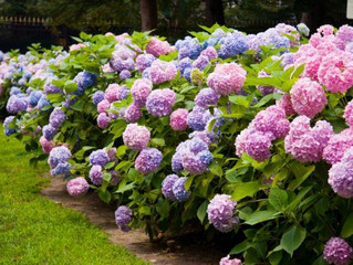#Hydrangeas For Everyone