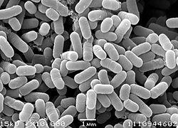 乳酸菌YM2‐2.jpg