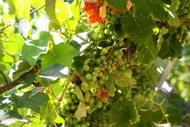 טיול בישראל מדריך טיולים גפן ענבים.jpg