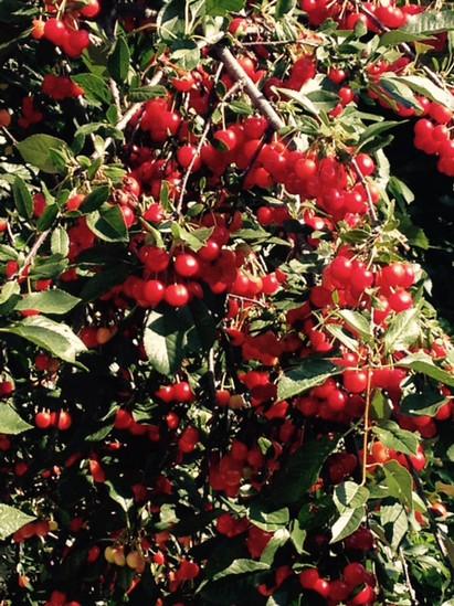 Cherry '15.jpg
