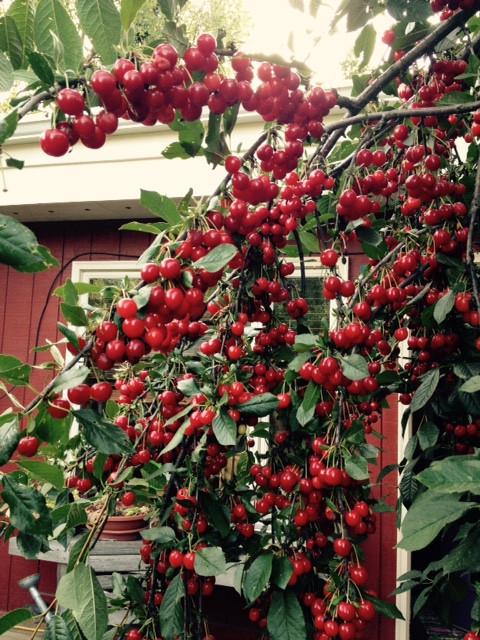 cherry 2015.jpg