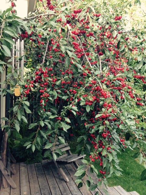 cherry tree 2015.jpg