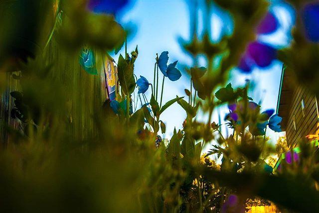Poppin' Poppies_#alaskanpoppy #flowers #