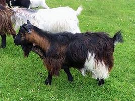 Pollyanna Pygmy Goats Crystal